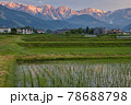 田植え後の水田の水面に映る美しい白馬三山の朝焼け 長野県白馬村 78688798