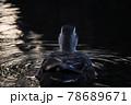 暗がりに浮かび上がる1羽のカルガモの後姿と波紋に反射する光 78689671