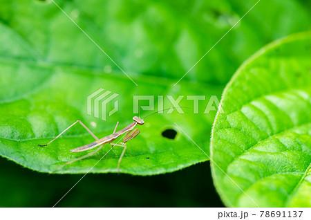 初夏の草むらのカマキリ幼虫  78691137