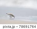 海岸の浜辺を歩くトウネン(北海道) 78691764