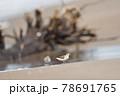 海岸の浜辺を歩くトウネンの群れ(北海道) 78691765