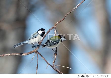 北海道 冬の小鳥 78693053