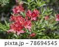 栃木県那須のつつじ 78694545