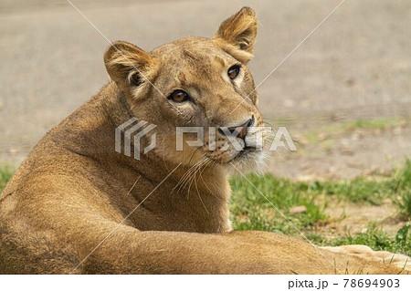 動物園の風景 ライオン 仙台市太白区 78694903