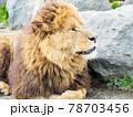 ライオンの横顔 78703456