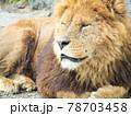 香箱座りする寝ぼけ顔のライオン 78703458