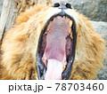 おおあくびするライオン 78703460
