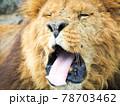 舌を出すライオン 78703462