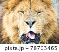 舌を出すライオン(正面) 78703465