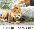 香箱座りするライオン 78703467