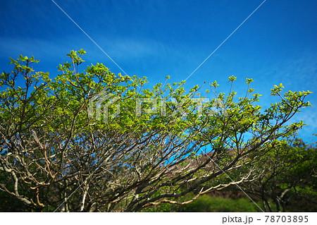 青空と茶臼山高原に生える新緑の木 78703895