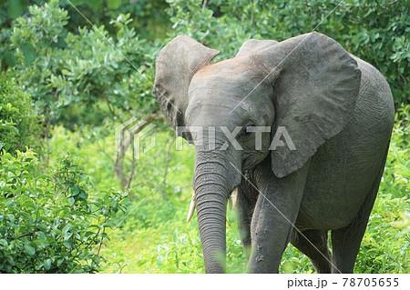 アフリカゾウ 78705655