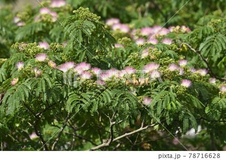 ピンクの花がたくさん咲いたネムノキ 78716628