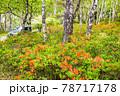(長野県)美ヶ原高原 レンゲツツジ咲く白樺平を走る車 78717178