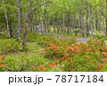 (長野県)美ヶ原高原 レンゲツツジ咲く白樺平を走る車 78717184