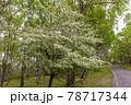 (長野県)美ヶ原高原 コナシの花咲く白樺平 78717344