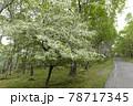 (長野県)美ヶ原高原 コナシの花咲く白樺平 78717345