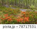 (長野県)美ヶ原高原 レンゲツツジ咲く白樺平 78717531