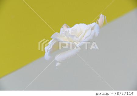 白と黄色紙ボケライン上に白い薔薇 78727114
