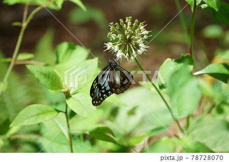 行者ニンニクの蜜を吸うアサギマダラ 78728070