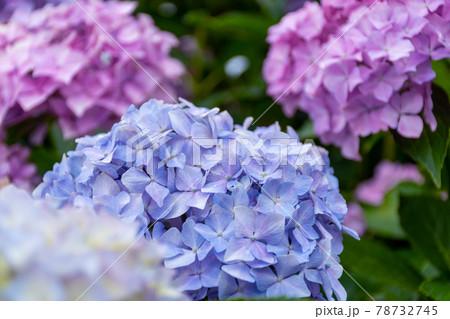 紫の紫陽花(アジサイ) 梅雨の時期に咲く花 78732745