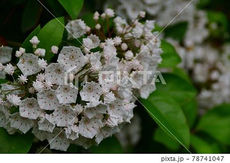 カルミアの白い花(埼玉県/5月) 78741047