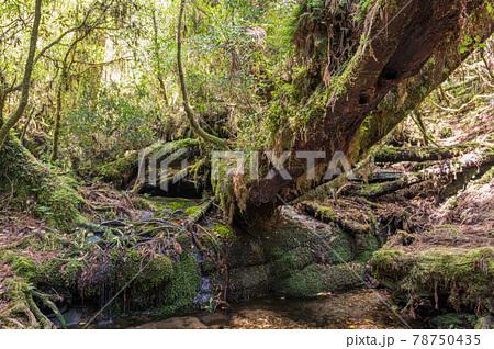 屋久島ヤクスギランド。倒木と苔と渓流が美しい(5月) 78750435