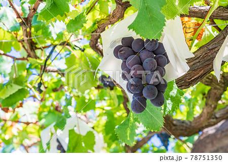 【山梨県】もうすぐ収穫・葡萄園の葡萄 78751350