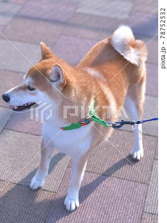 縦位置撮影の早朝散歩での出会い頭の柴犬の表情 78752532