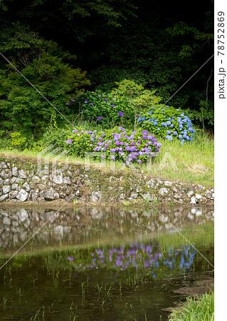 棚田の鏡面田んぼと石垣の上に咲く紫の紫陽花 78752869