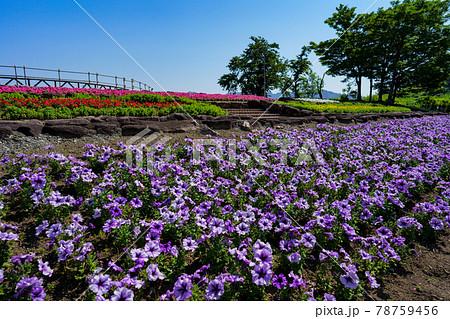 紫色のペチュニアが咲く花壇のある展望台 78759456