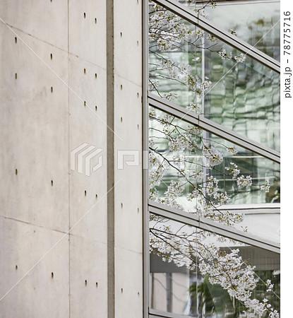 窓ガラスに映る都会に咲く満開の桜の花 78775716
