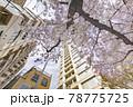都会に咲く満開の桜の花 78775725