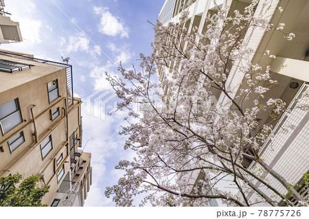 都会に咲く満開の桜の花 78775726