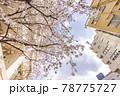都会に咲く満開の桜の花 78775727