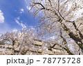 都会に咲く満開の桜の花 78775728