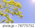 太陽の光が当たる瑞々しい新緑の木 78775732