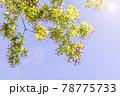 太陽の光が当たる瑞々しい新緑の木 78775733