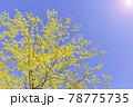 太陽の光が当たる瑞々しい新緑の木 78775735