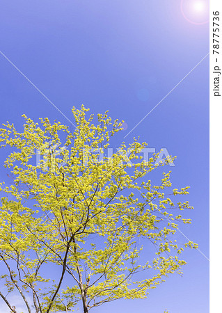 太陽の光が当たる瑞々しい新緑の木 78775736