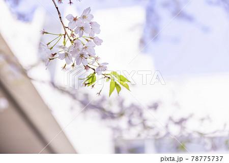 ピンク色が綺麗な満開の桜の花 78775737