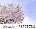 ピンク色が綺麗な満開の桜の花 78775738