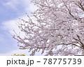 ピンク色が綺麗な満開の桜の花 78775739