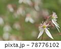 ユキノシタの群生 78776102
