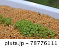 プランターに植えた種が芽を出したところ 78776111