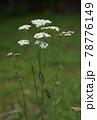 ハーブ・ヤロウの花が咲いたところ 78776149
