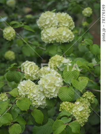 東京板橋区・赤塚植物園のオオデマリ 78776349