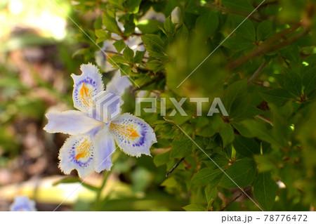 著莪(しゃが)の花とドウダンツツジ 78776472
