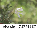 木陰に咲くキクザキイチゲ 78776687