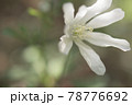 木陰に咲くキクザキイチゲ 78776692